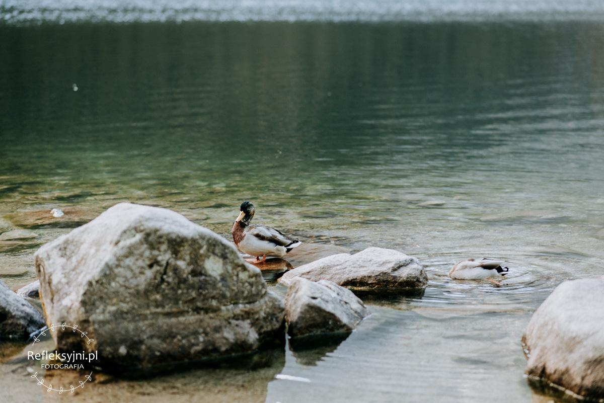 Kaczki pływające na Morskim Oku