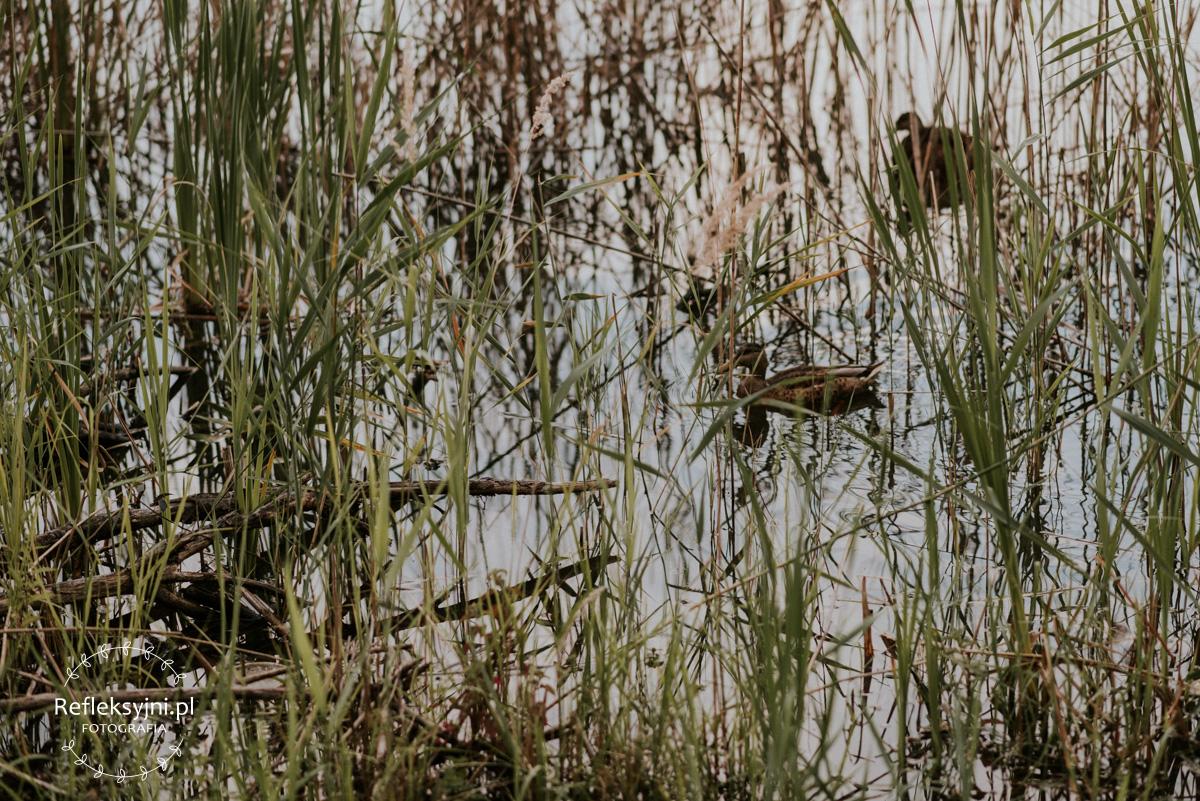 Kaczki pływające po jeziorku w Zielonce